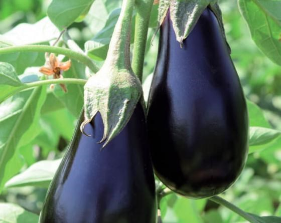 Мирвал F1, семена баклажана (Vilmorin / Вильморин) - фото 6492