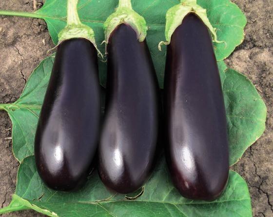 Фабина F1, семена баклажана (Tezier / Тезье) - фото 6494