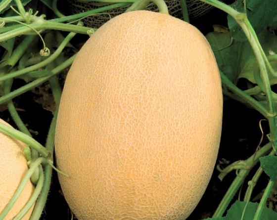 Биджоур F1, семена дыни (Vilmorin / Вильморин) - фото 6497