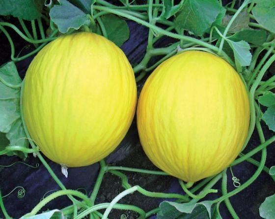 Форбан F1, семена дыни (Vilmorin / Вильморин) - фото 6502