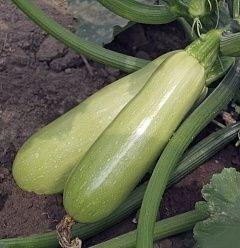 Адриелле F1, семена кабачка (Vilmorin / Вильморин) - фото 6507