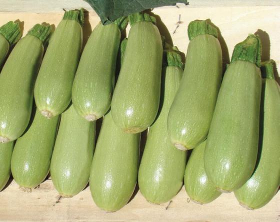 Асма F1, семена кабачка (Clause / Клоз) - фото 6514