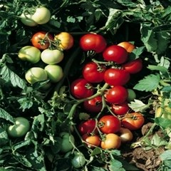 Топкапи F1, семена томата детерминантного (Vilmorin / Вильморин) - фото 6517