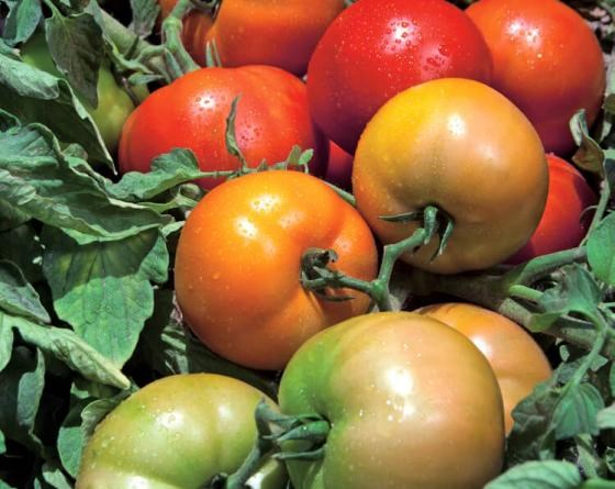 Трибека F1, семена томата детерминантного (Vilmorin / Вильморин) - фото 6522