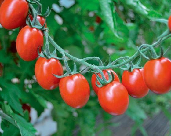 Тутти Фрутти F1, семена томата индетерминантного (Clause / Клоз) - фото 6524