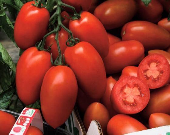 Сэр Элиан F1, семена томата индетерминантного (Vilmorin / Вильморин) - фото 6527