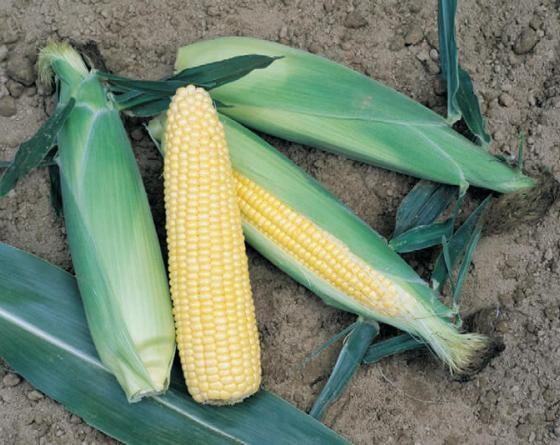 Турбо F1, семена кукурузы (Vilmorin / Вильморин) - фото 6528