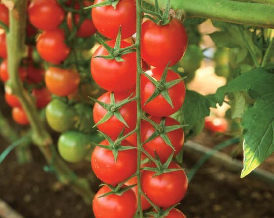 Сентино F1, семена томата индетерминантного (Clause / Клоз) - фото 6532