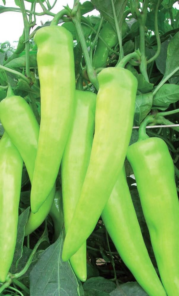 Тассили F1, семена перца острого (Clause / Клоз) - фото 6534