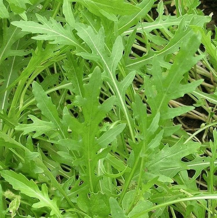 Рококо, семена рукколы (Vilmorin / Вильморин) - фото 6539