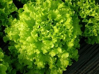Тональ, семена салата батавия (Vilmorin / Вильморин) - фото 6540