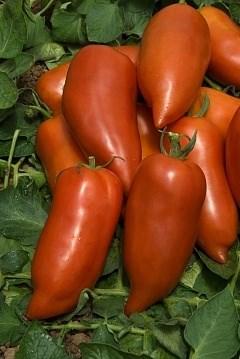 Корнабель F1, семена томата индетерминантного (Vilmorin / Вильморин) - фото 6555