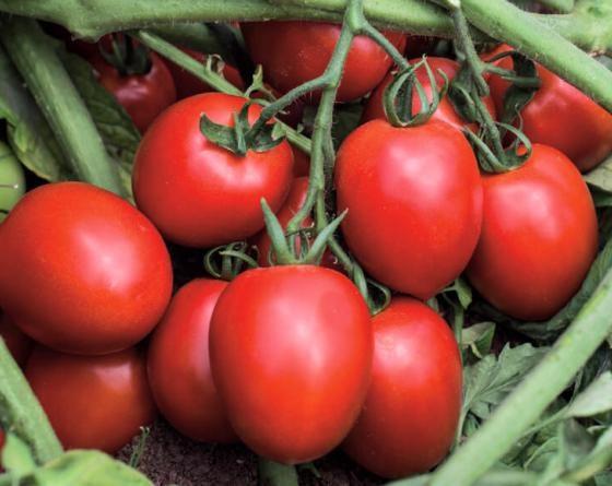 Капорал F1, семена томата детерминантного (Vilmorin / Вильморин) - фото 6559