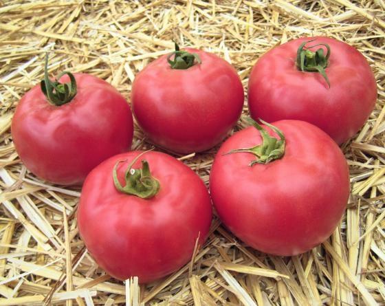 Афен F1, семена томата индетерминантного (Tezier / Тезье) - фото 6560