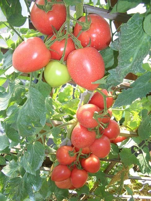 Бонапарт F1, семена томата индетерминантного (Vilmorin / Вильморин) - фото 6564