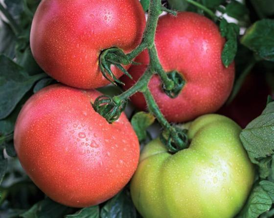 Донателло F1, семена томата индетерминантного (Vilmorin / Вильморин) - фото 6569
