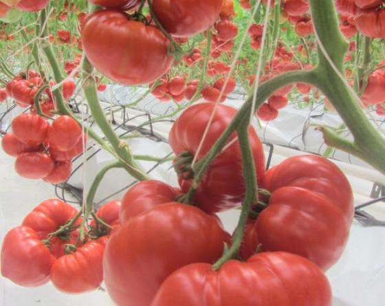 Сарра F1, семена томата индетерминантного (Clause / Клоз) - фото 6574