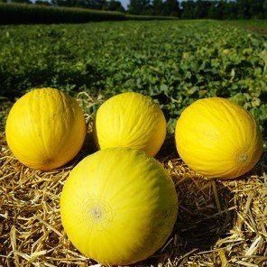 Форбан F1, семена дыни (Clause / Клос) - фото 6582