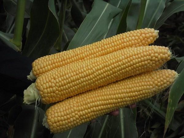 Оватонна F1, семена кукурузы (Clause / Клос) - фото 6594