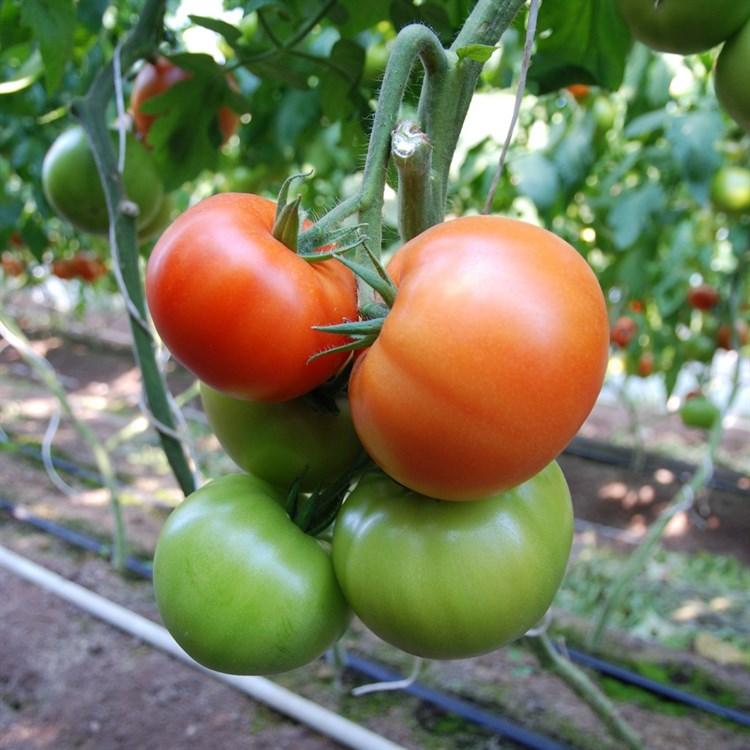 Белфаст F1, семена томата индетерминантного (Enza Zaden / Энза Заден) - фото 6603