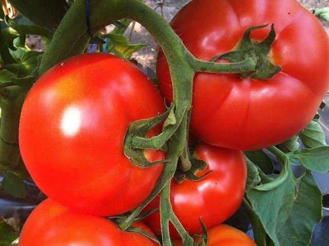 Белфорт F1, семена томата индетерминантного (Enza Zaden / Энза Заден) - фото 6605