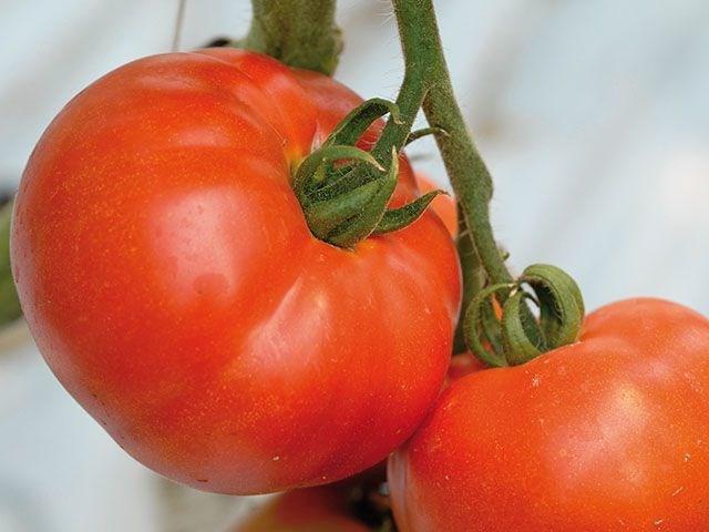 Берберана F1, семена томата индетерминантного (Enza Zaden / Энза Заден) - фото 6608