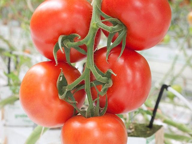 Дирк F1, семена томата индетерминантного (Enza Zaden / Энза Заден) - фото 6619