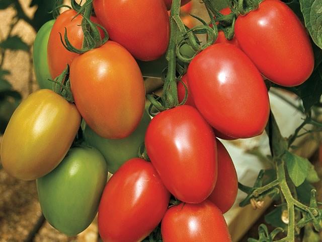 Гранадеро F1, семена томата индетерминантного (Enza Zaden / Энза Заден) - фото 6622