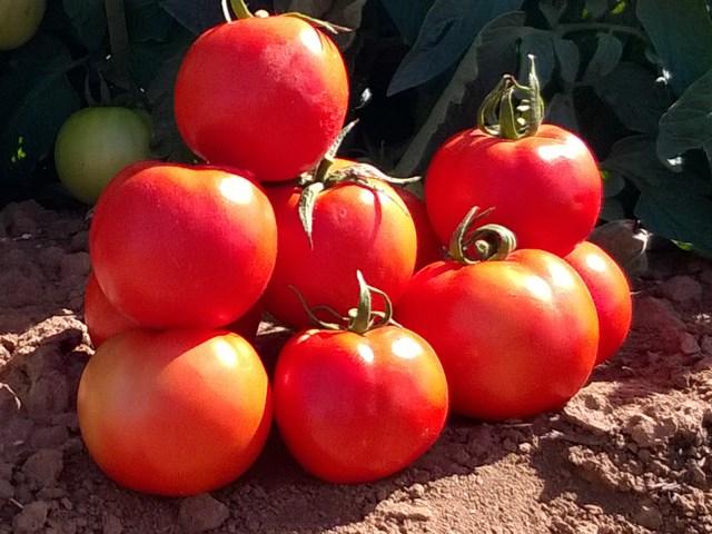 Бехрам F1, семена томата детерминантного (Enza Zaden / Энза Заден) - фото 6634