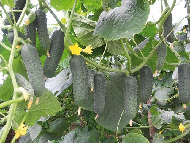 Гуннар F1, семена огурца партенокарпического (Enza Zaden / Энза Заден) - фото 6638