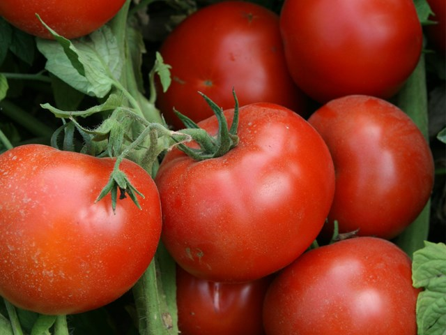 Лоджейн F1, семена томата детерминантного (Enza Zaden / Энза Заден) - фото 6640