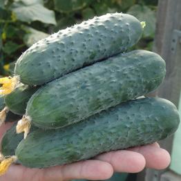 Северин F1, семена огурца партенокарпического (Enza Zaden / Энза Заден) - фото 6645