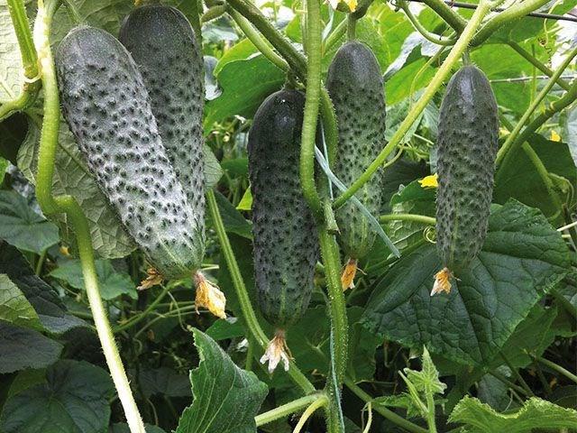 Сигурд F1, семена огурца партенокарпического (Enza Zaden / Энза Заден) - фото 6648