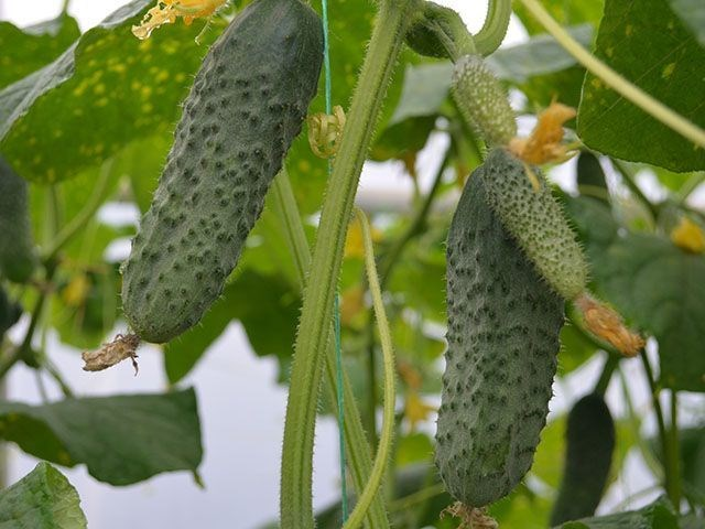 Туми F1, семена огурца партенокарпического (Enza Zaden / Энза Заден) - фото 6650