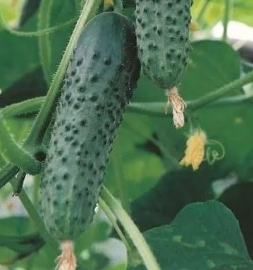 Эксельсиор F1, семена огурца партенокарпического (Enza Zaden / Энза Заден) - фото 6651