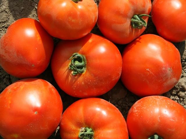 Усмань F1, семена томата детерминантного (Enza Zaden / Энза Заден) - фото 6652