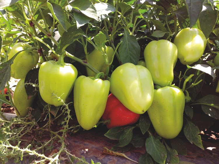 Анетта F1, семена перца сладкого (Enza Zaden / Энза Заден) - фото 6656
