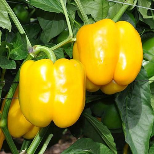 Дикаприо F1, семена перца сладкого (Enza Zaden / Энза Заден) - фото 6659