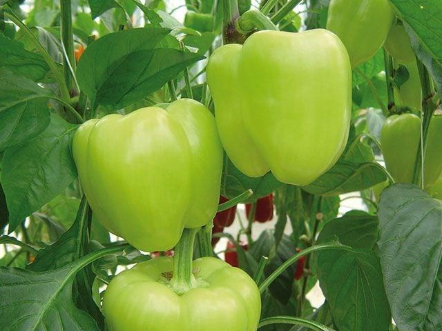 Лозорно F1, семена перца сладкого (Enza Zaden / Энза Заден) - фото 6663