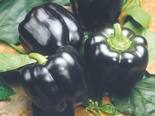 Маврас F1, семена перца сладкого (Enza Zaden / Энза Заден) - фото 6665