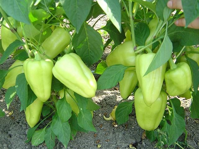 Лотта F1, семена перца сладкого (Enza Zaden / Энза Заден) - фото 6669