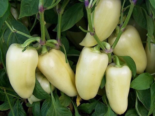 Хаски F1, семена перца сладкого (Enza Zaden / Энза Заден) - фото 6670