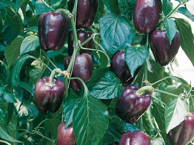 Текила F1, семена перца сладкого (Enza Zaden / Энза Заден) - фото 6675
