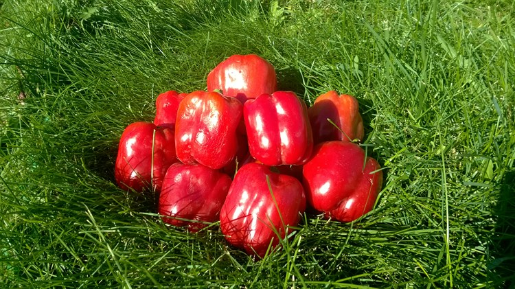 Рэд Барон F1, семена перца сладкого (Enza Zaden / Энза Заден) - фото 6676