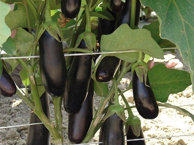 Дестан F1, семена баклажана (Enza Zaden / Энза Заден) - фото 6683