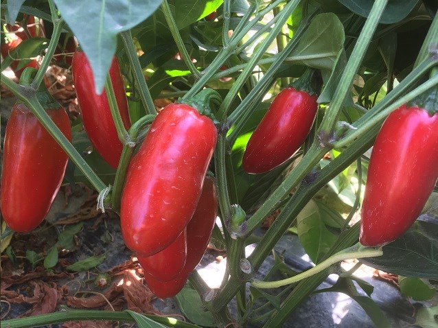Форахидо F1, семена перца острого (Enza Zaden / Энза Заден) - фото 6685