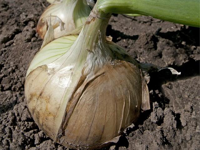 Вердон F1, семена лука репчатого (Takii Seeds / Таки Сидс) - фото 6712