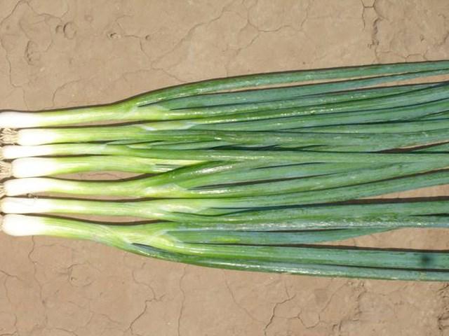 Банчинг Стар, семена лука на перо (Enza Zaden / Энза Заден) - фото 6726