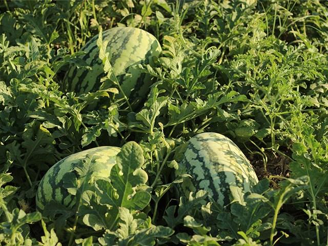 Тамтам F1, семена арбуза (Enza Zaden / Энза Заден) - фото 6732