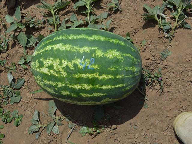 Кольт (E-42) F1, семена арбуза (Takii Seeds / Таки Сидс) - фото 6734